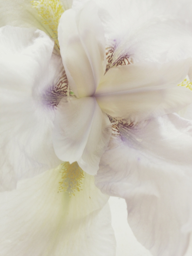 Pale Iris via Passion and Obsession blog